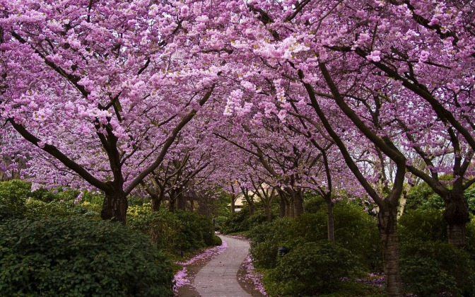cherry-trees-in-bloom