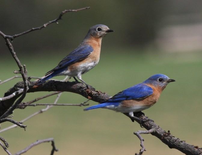 EasternBluebirds.Wiki