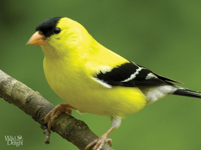 AmericanGoldfinch.wilddelight.com